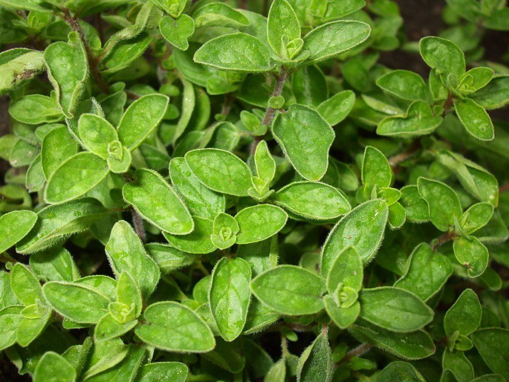 piante di origano fresco